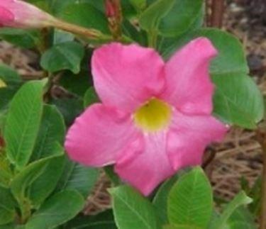 foto fiori mandevilla