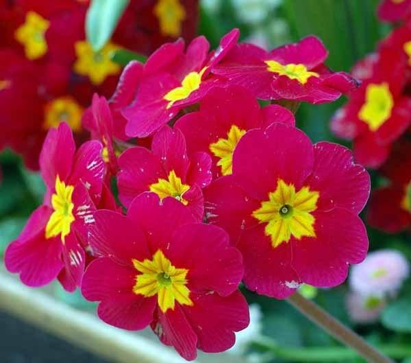 Fiori da esterno giardinaggio fiori da esterno for Giardinaggio e fiori