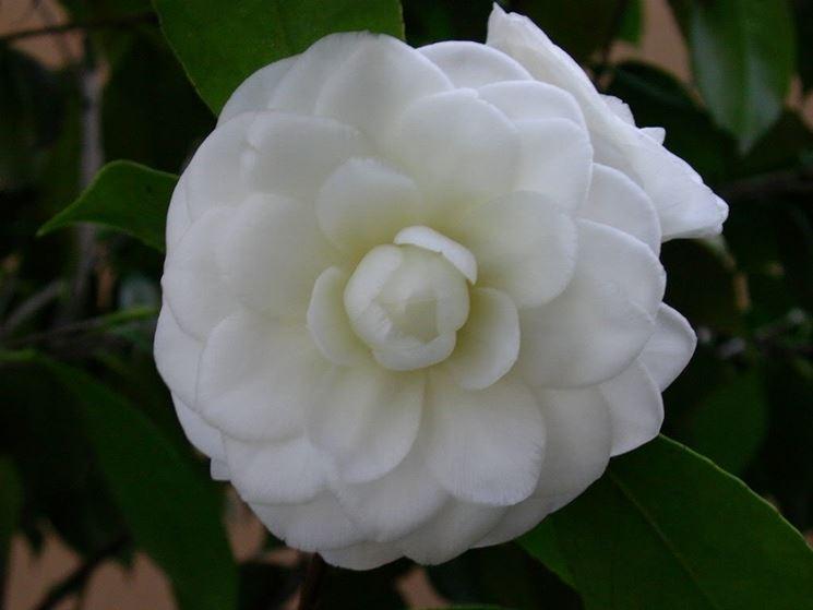 Fiori da giardino giardinaggio fiori per il giardino - Grossi fiori da giardino ...