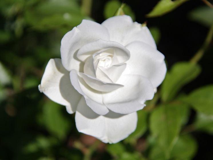 Fiori Bianchi Simili A Rose.Fiori Da Giardino Giardinaggio Fiori Per Il Giardino