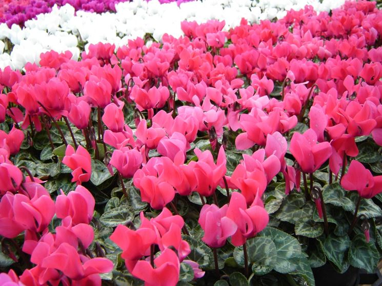 giardinaggio e fiori giardinaggio coltivare fiori