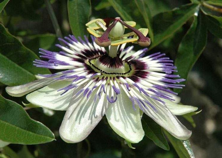 Fiore della passiflora