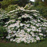 Arbusto di viburno fiorito