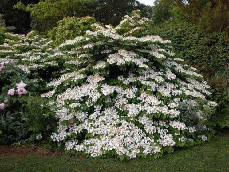 Giardini in fiore giardinaggio giardini fioriti for Cespugli giardino