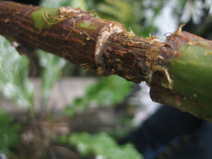 Margotta giardinaggio tecnica margotta for Glicine bonsai prezzo
