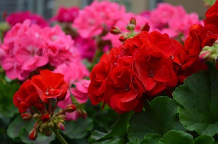 piante usate come rimedio antizanzare