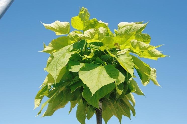 Una pianta antizanzare catambra