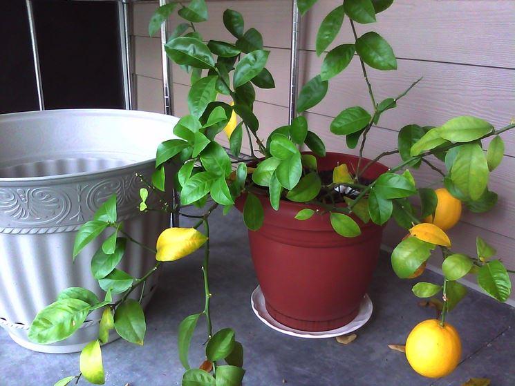 Coltivare agrumi vaso