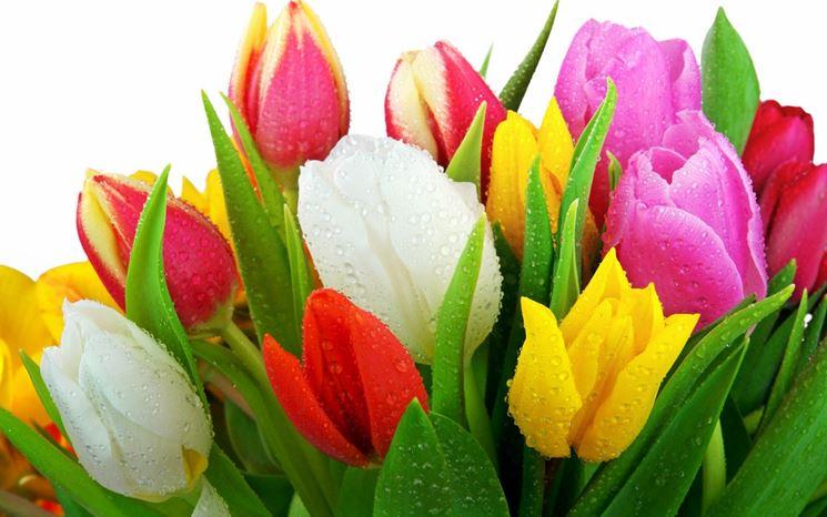 Tulipani di differenti colori