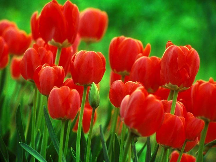 Tulipani di colore rosso
