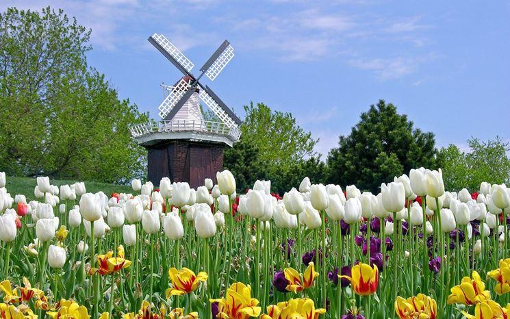 Coltivazione di tulipani in Olanda