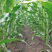 Irrigazione a goccia in un campo