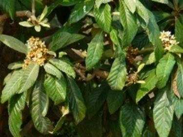 innestare piante da frutto - innesto
