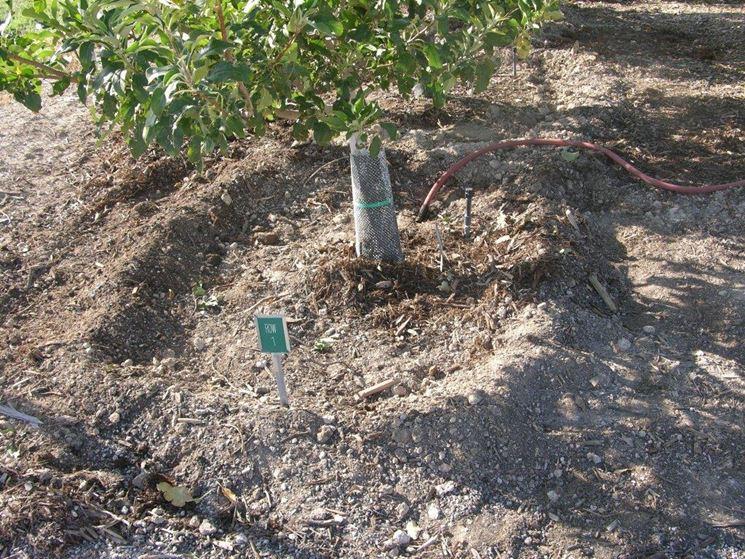 Irrigazione limone: particolare irrigazione a conca