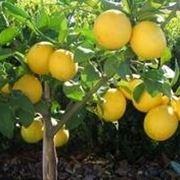 quando innestare il limone