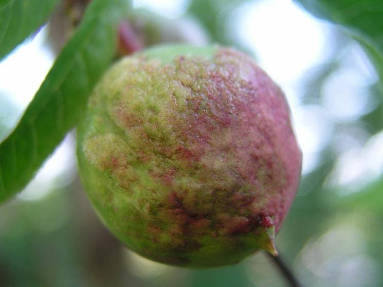 Bolla pesco frutto