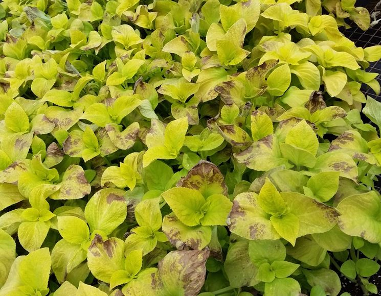 Sintomi peronospora foglie