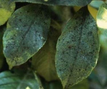 Fumaggine malattie delle piante - Malattie limone fumaggine ...