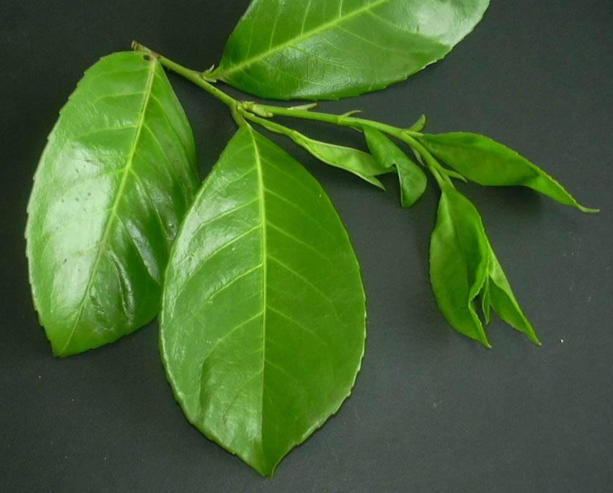 Lauroceraso malattie malattie delle piante quali sono for Lauroceraso malattie