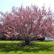 foglie di ciliegio