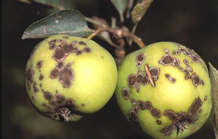 Piante Di Melo : Malattie del melo delle piante le