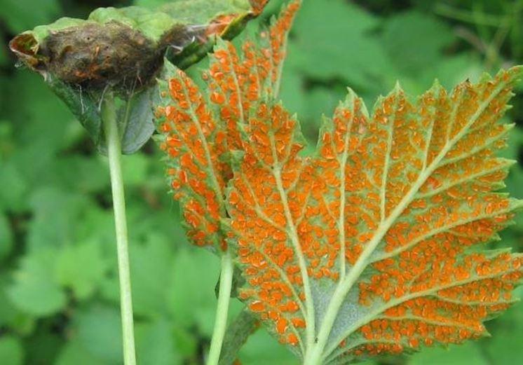 Malattie delle foglie malattie delle piante for Ruggine delle rose