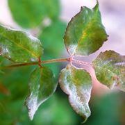 rose malattie