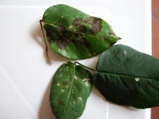 Malattie piante ornamentali malattie delle piante for Malattie delle rose
