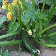 zucchineoidio