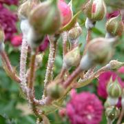 oidio rose