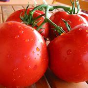 Peronospora pomodoro