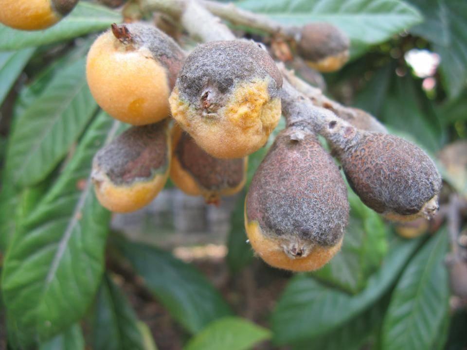 nespolo comune mespilus germanica alberi da frutta