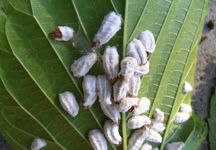 Gruppo cocciniglie pianta