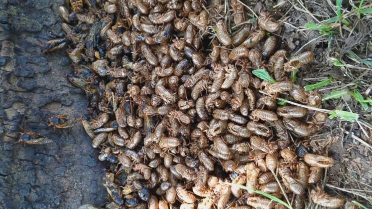 Invasione cicale