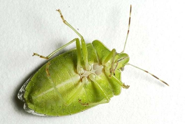 Cimice verde parassiti delle piante caratteristiche cimice for Cimice insetto