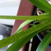 cocciniglia orchidee