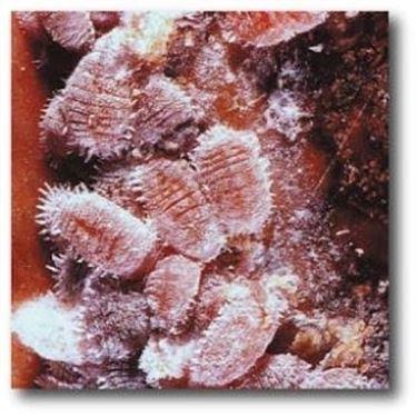 coccinigliarossa