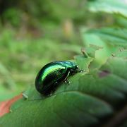 coleottero verde