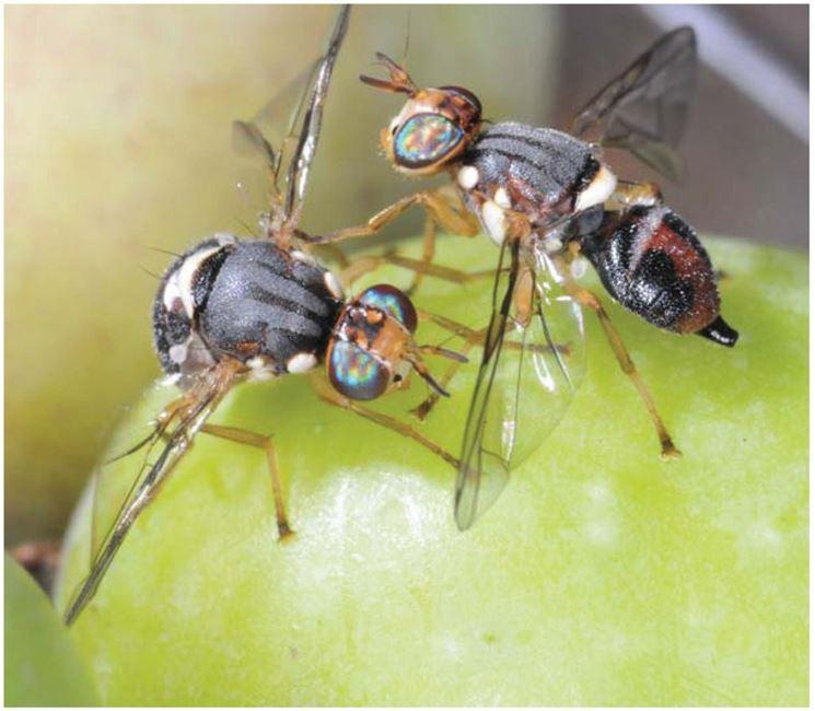 Esemplari di mosche dell'olivo