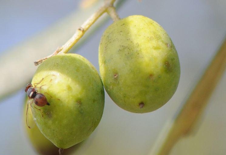 Olive attaccate dalla mosca