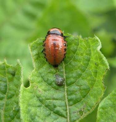 larvadorifora
