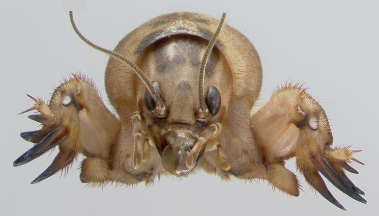 Grillotalpa insetto