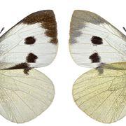 Esemplare pieris brassicae