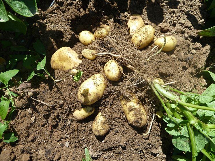 Pianta patate