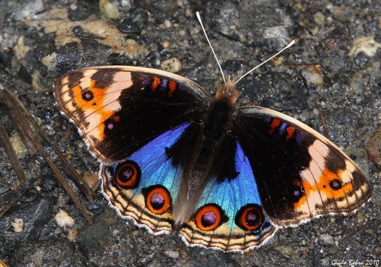 Larva farfalla