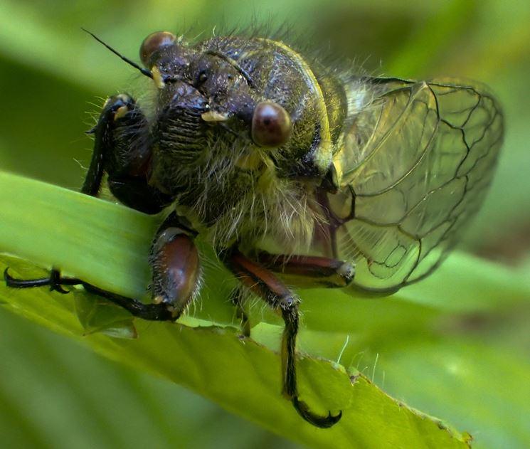 Cicala insetto