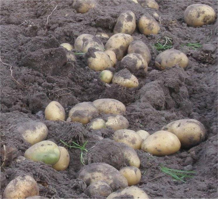 Esche a base di patate