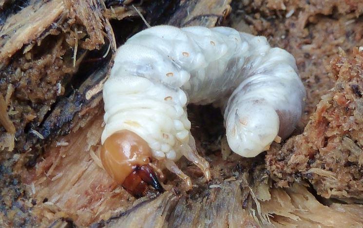 Larva maggiolino insetto
