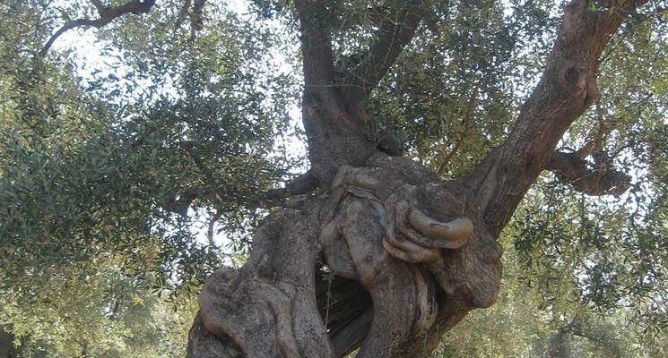 malattie ulivo parassiti delle piante malattie albero