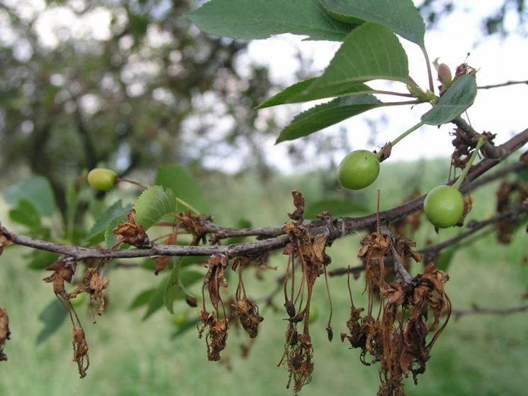 monilia olivo